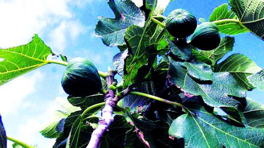 El superalimento que es la más antigua de las frutas que se cultivan en Canarias