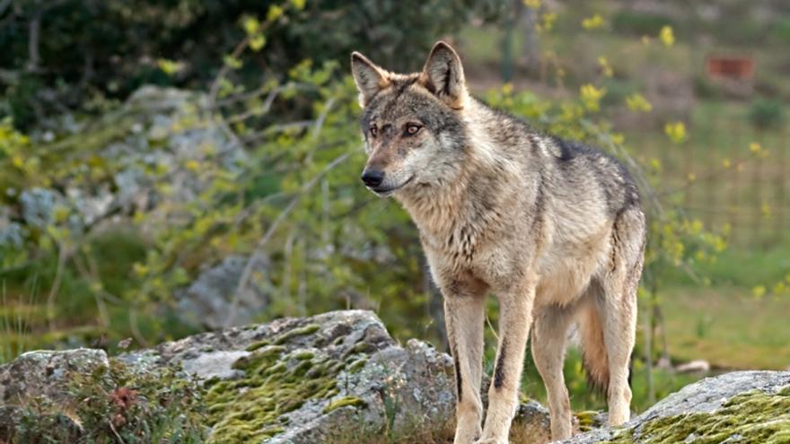 EDITORIAL | La conservación del lobo, un objetivo imposible fuera del acuerdo social