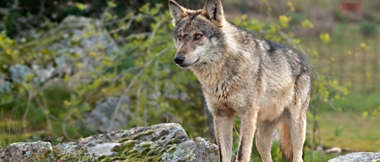 Acuerdo Gobierno-autonomías para la protección del lobo en toda España