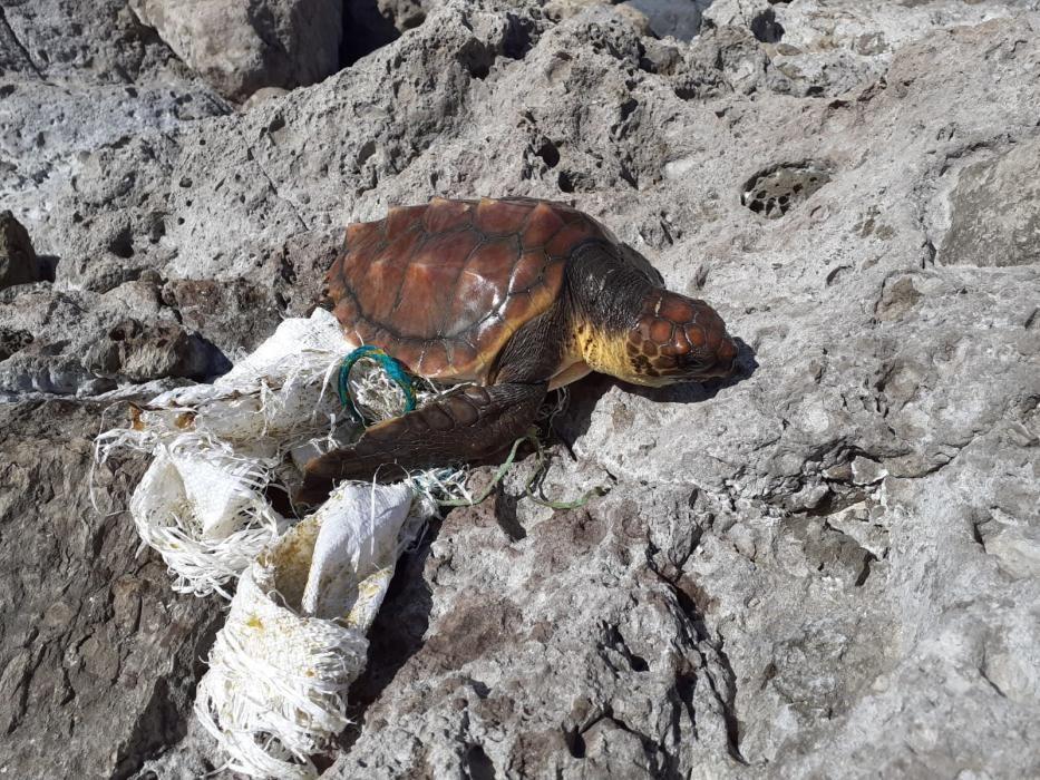 Una tortuga de 38 kilos llega a Gran Canaria con una herida profunda