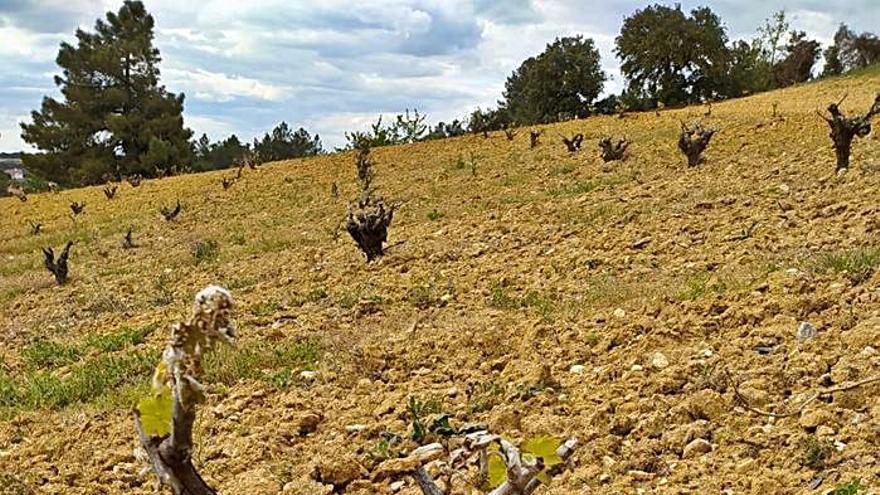 Las heladas tardías provocan pérdidas del 20% en la DO Tierra del Vino