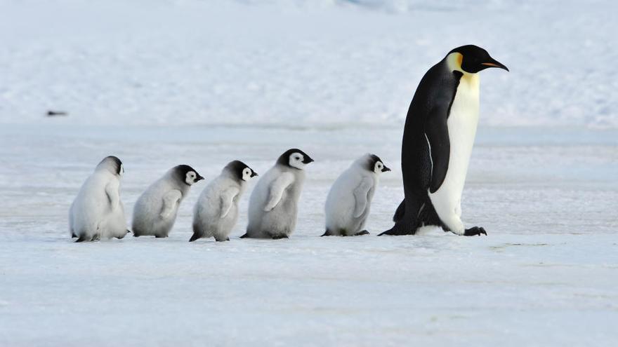 Las colonias de pingüinos en la Antártida se han reducido un 80% en medio siglo
