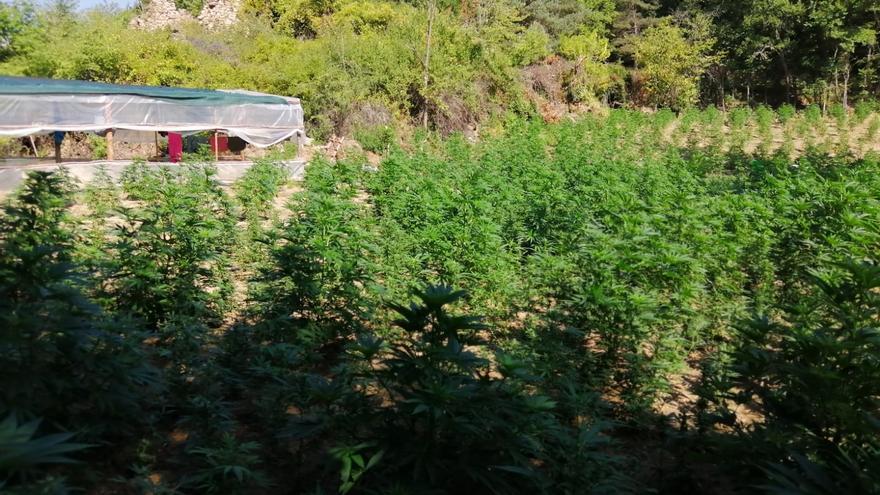 Vuit detinguts per cultivar més de 18.000 plantes de marihuana al Solsonès
