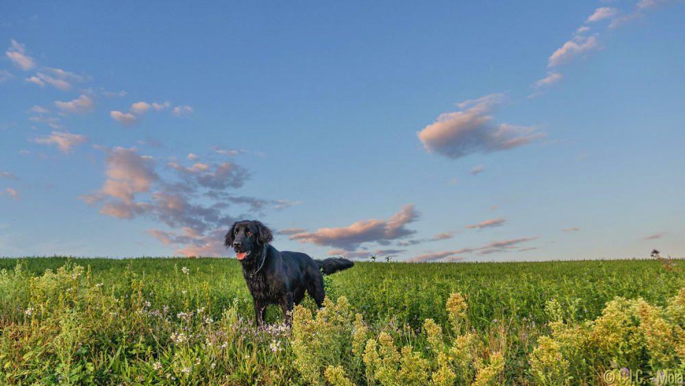 Sortida del sol al Moianès amb aquest bonic gos com a protagonista.