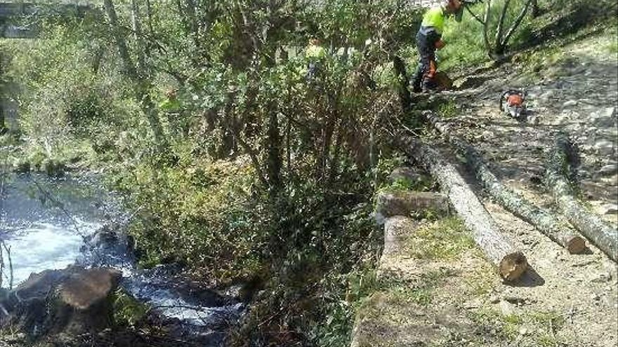 La CHMS retiró en una primera fase más de 90 alisos enfermos en el río Arenteiro