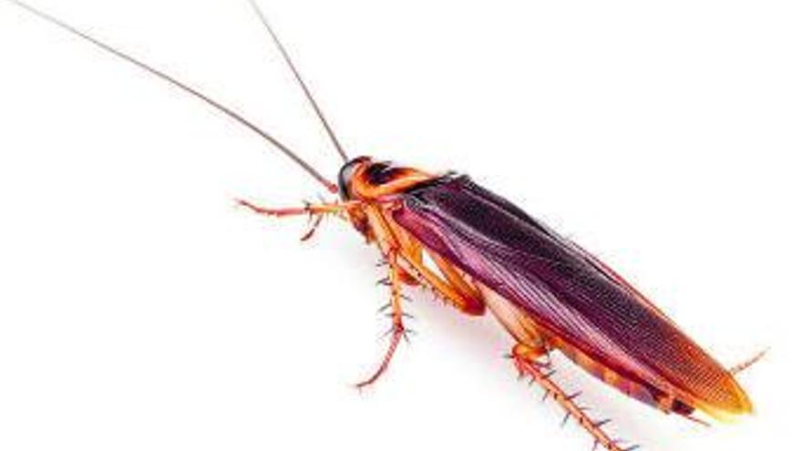 Igitt, Kakerlaken! Welche es auf Mallorca gibt und wie man sie bekämpft