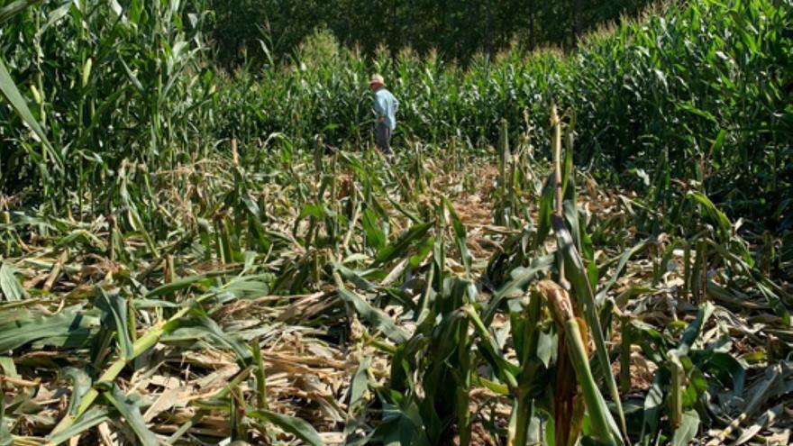 Los jabalíes destrozan cultivos en la provincia de Zamora y los agricultores piden soluciones