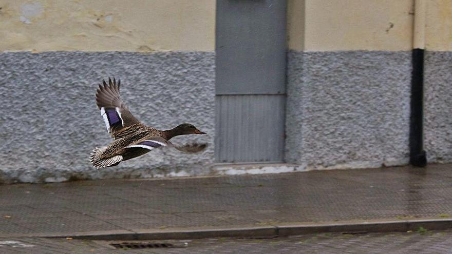 Un pato sobrevuela una calle de Zamora, en la tarde de ayer.