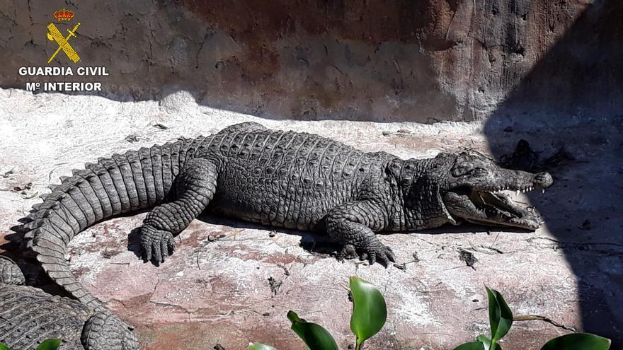 Detenidos por el tráfico ilegal de cocodrilos y otras especies en Canarias