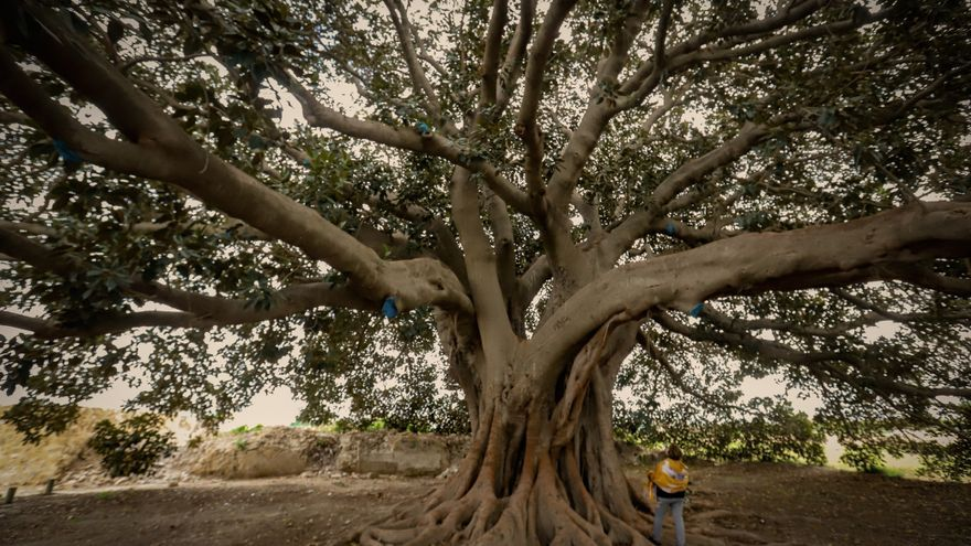 Imágenes de árboles singulares protegidos por la Generalitat en la Vega Baja