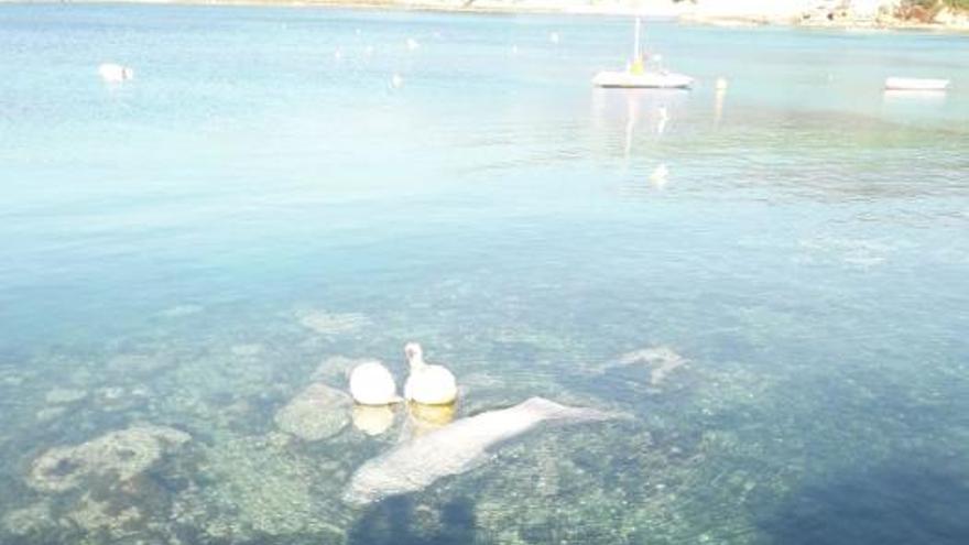 Toter Hai in Puerto Portals aus dem Wasser gefischt