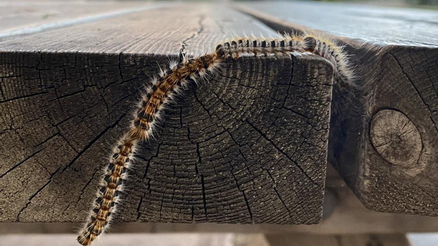 Procesionaria del pino en Mallorca: Evita cualquier contacto y protege a tu mascota