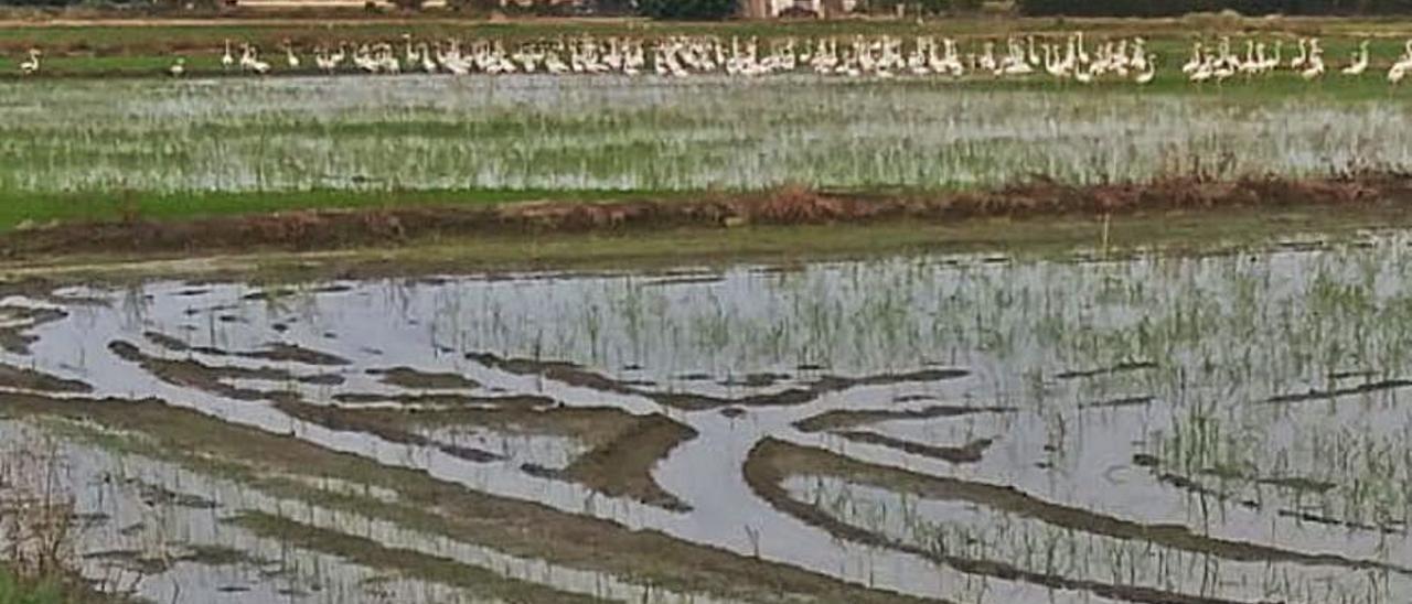 Un grupo de flamencos en un arrozal.   LEVANTE-EMV