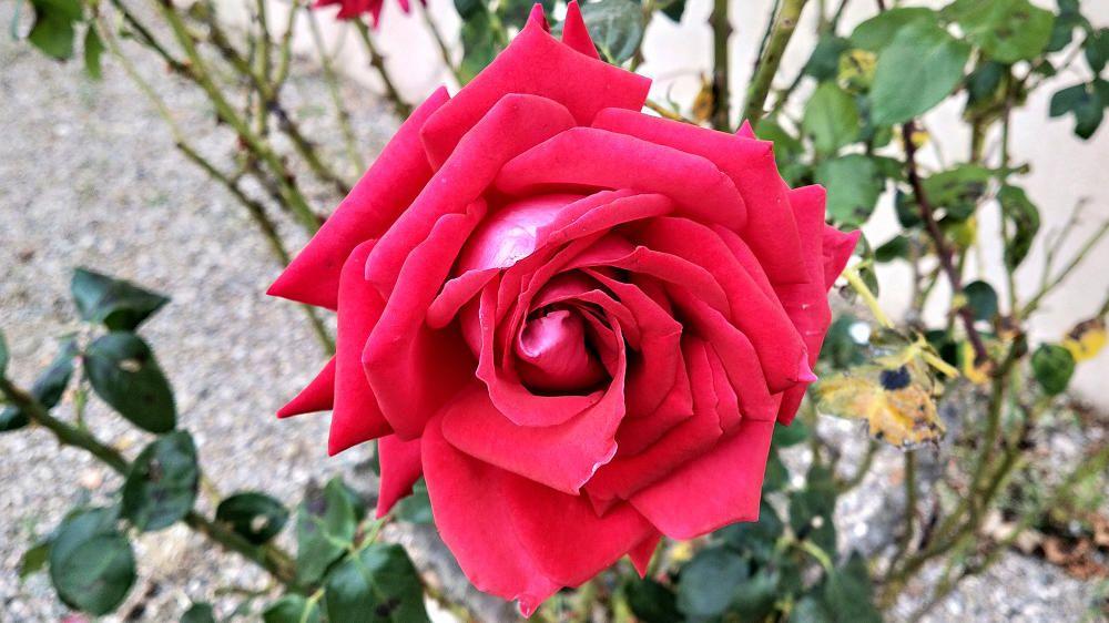 La rosa. La flor més valorada per floristes i fabricants de perfums.