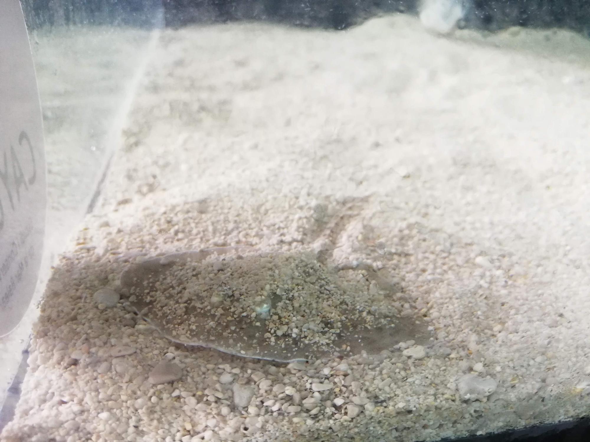 Nace la primera raya de un huevo recuperado de pesca accidental en Mallorca