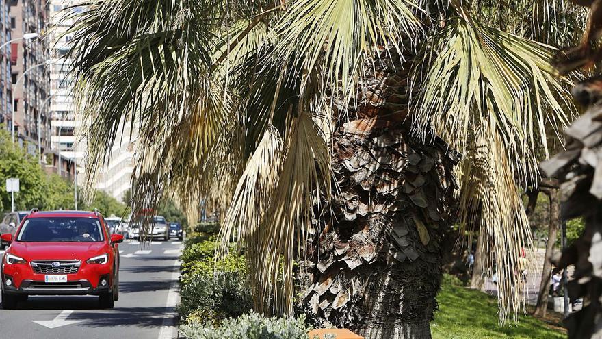 61 palmeras que se secan en el Cabo de la Huerta