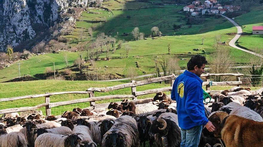 Paradores lleva a los sos menús d'alta cocina los lechazos criaos nos Picos d'Europa