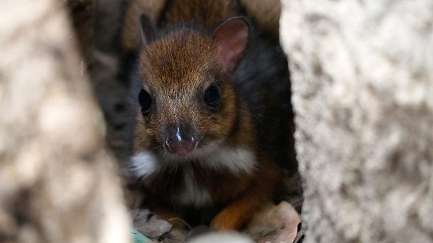 Nace un ciervo ratón del tamaño de un móvil en el Bioparc de Fuengirola