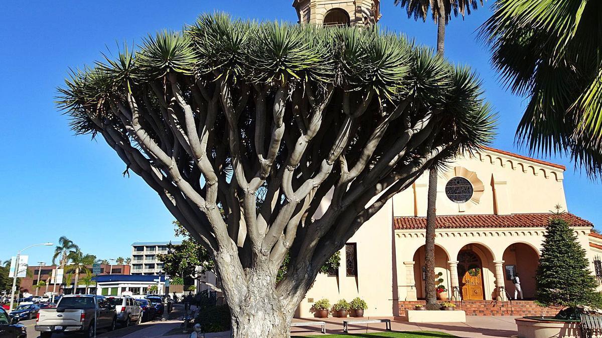 Ejemplar de drago canario en California, Estados Unidos.