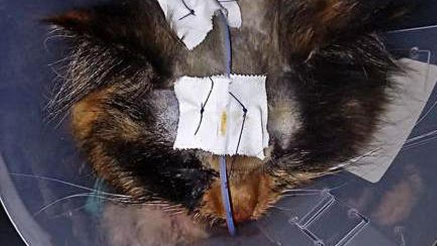 Mika, tras la operación.