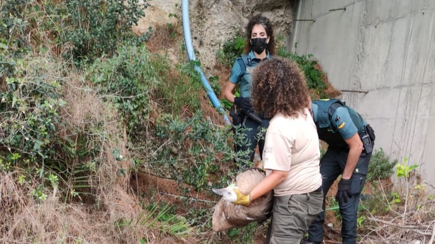 Rescatan a un buitre aparecido en un solar del casco urbano de Vinaròs
