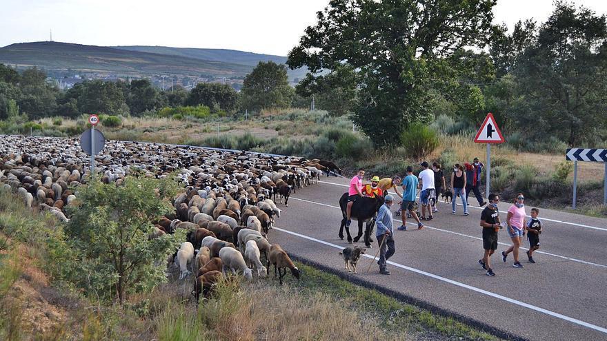 Ascenso de 4.000 ovejas a la sierra de la Alta Sanabria