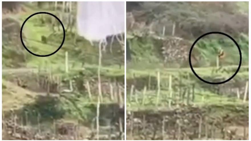 Un cazador dispara a un jabalí en un núcleo de viviendas de Arnoia