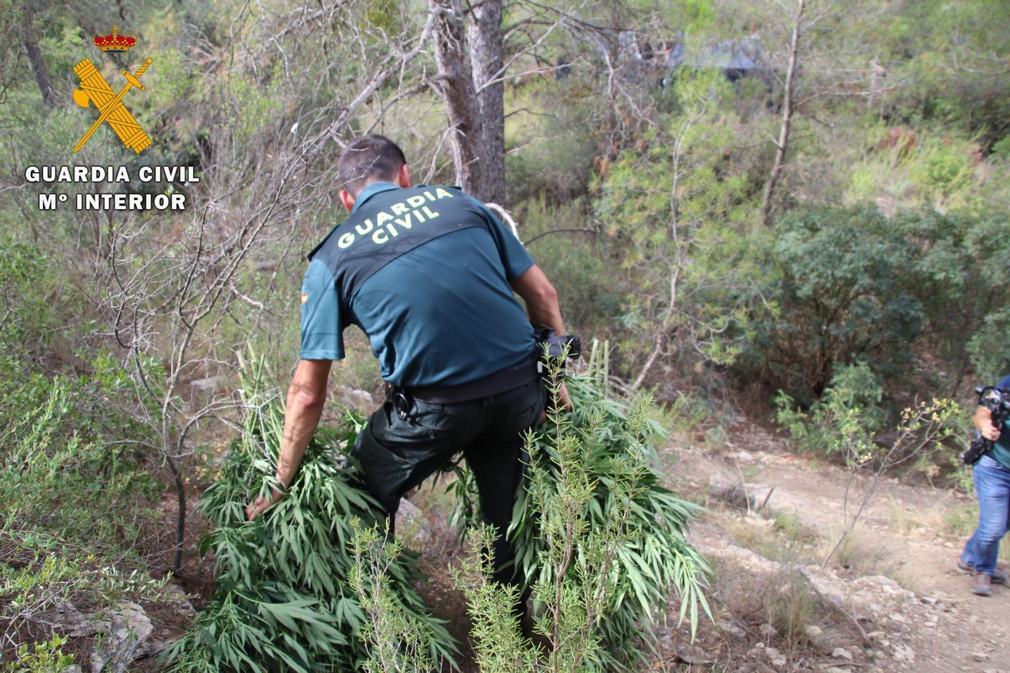 FOTOGALERÍA   Desmantelada en Fayón la tercera macroplantación de marihuana al aire libre en los últimos quince días en la provincia de Zaragoza