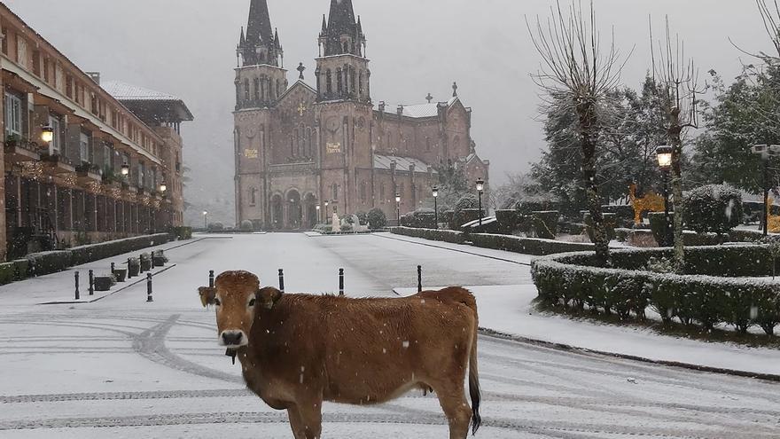 Una vaca se extravía por la nieve y acaba en el santuario de Covadonga