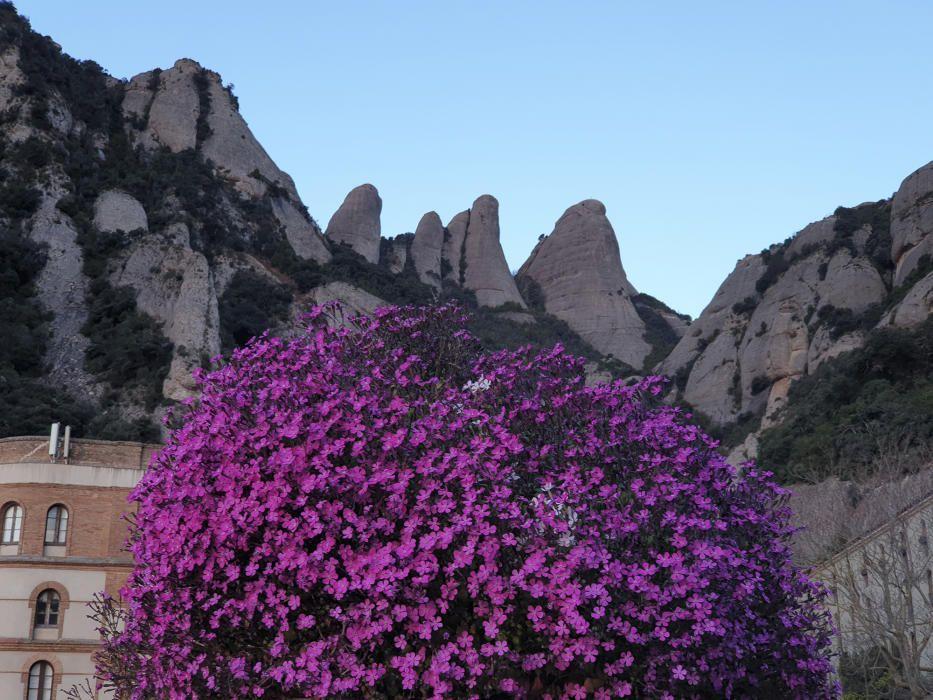 Floració. La primavera acoloreix molts racons de les nostres contrades. A Montserrat, el nostre lector va captar aquesta instantània, en la qual s'observa el viu contrast de les flors amb la muntanya