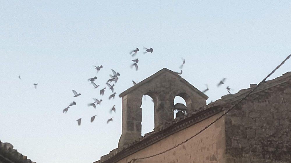Navès. Una família de coloms al campanar de l'església.