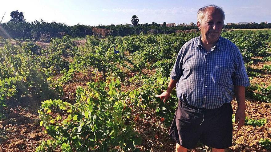 Pierde la cosecha de 1.200 viñas de moscatel en Dénia al devorarla los jabalíes