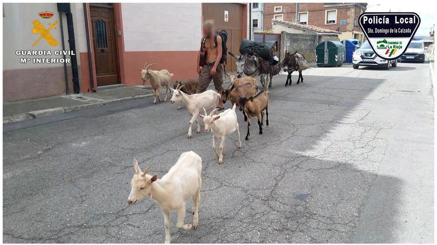 Identificado en La Rioja un peregrino que hacía el Camino de Santiago con siete cabras y tres burros