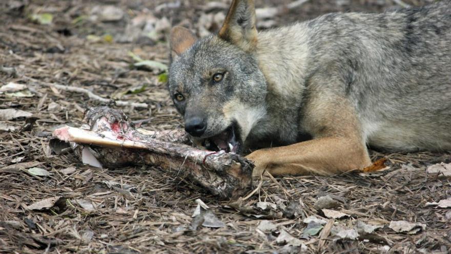 """Ribera cree avalada la protección del lobo al ser fruto """"del consenso"""""""