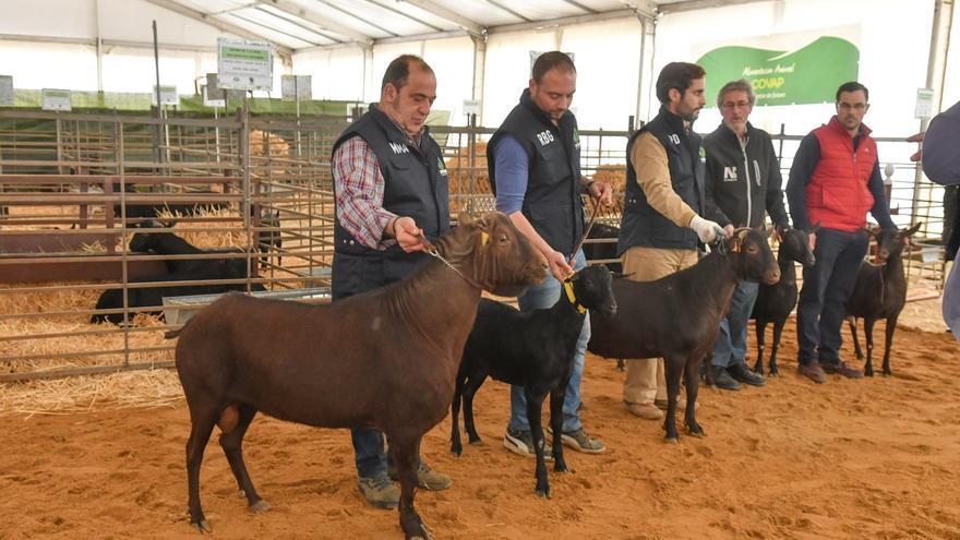 Suspendida la edición de este año de la Feria Agroganadera de Los Pedroches