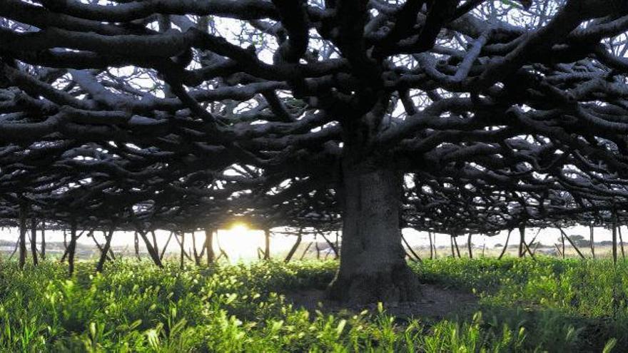 Memoria arbórea de las Balears