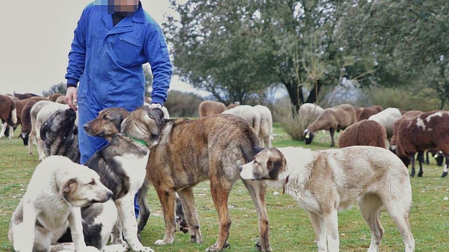 Un ganadero de Fonfría denuncia a un cazador por disparar a sus perros