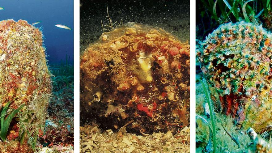 Vom Aussterben bedroht: Neue Hoffnung für Europas größte Muschel?