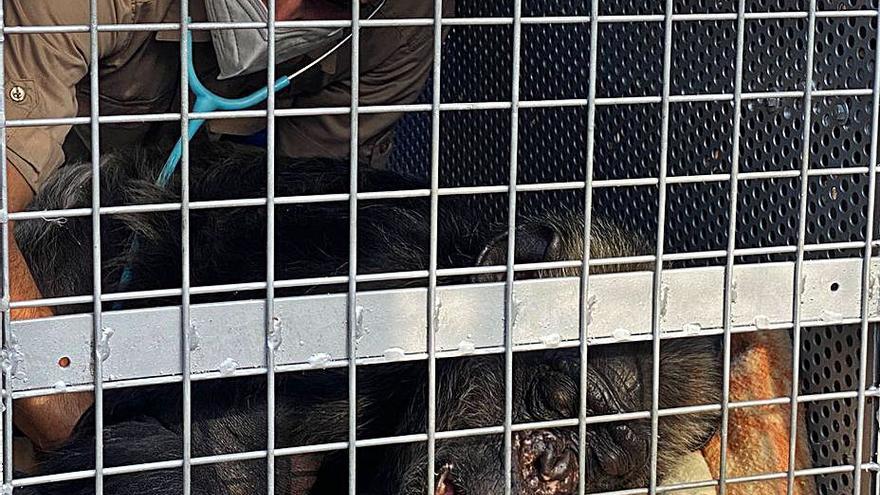 Una fundación se hace cargo de una chimpancé de 48 años que vivía en una jaula en El Campello
