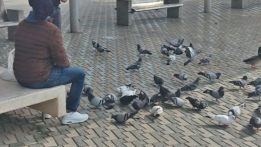 Piden que se reconvierta a los alimentadores de palomas de Palma en controladores