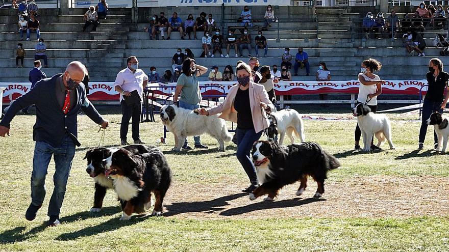 La Xuntanza del Mastín del Pirineo se suma a la cita de belleza canina