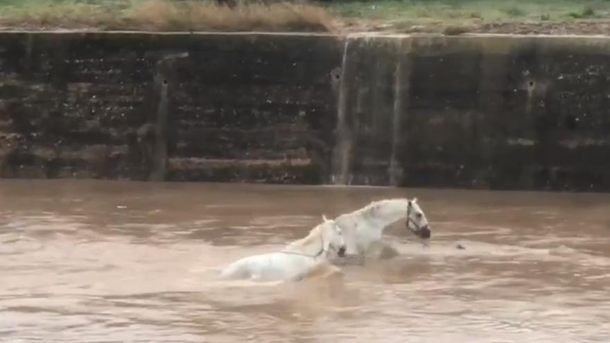 Pacma denuncia al dueño de los caballos ahogados por 'maltrato'