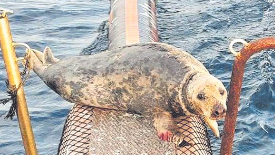 La foca herida vista en Altea se adentra en el mar