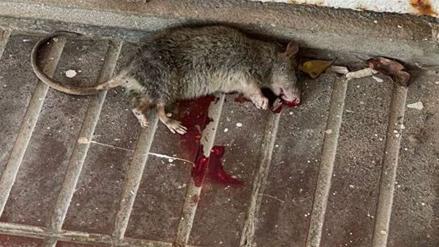 A la caza de la rata en Ibiza