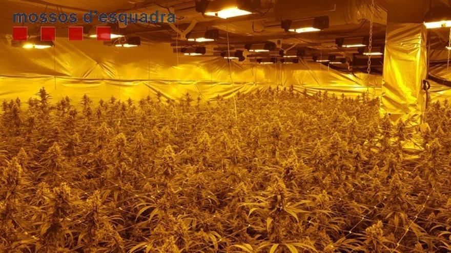 Desmantellen dues plantacions de marihuana a Olesa de Montserrat i Sant Esteve Sesrovires