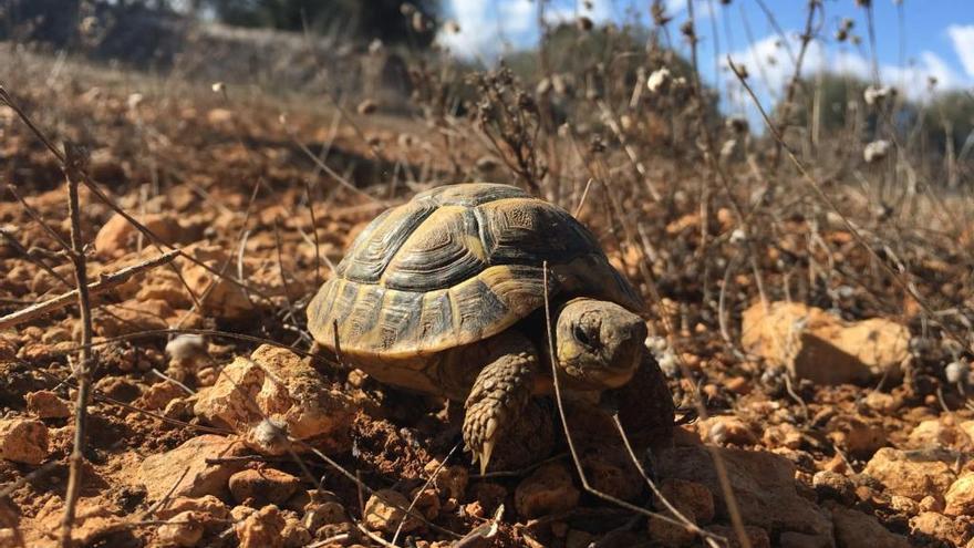 90 Landschildkröten bei Llucmajor freigelassen