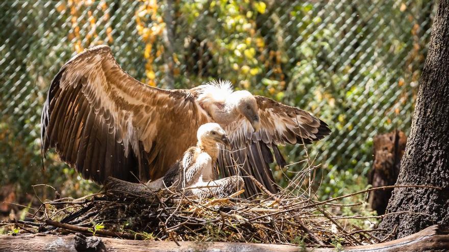 Nace por primera vez en Mallorca una cría de buitre leonado en cautividad