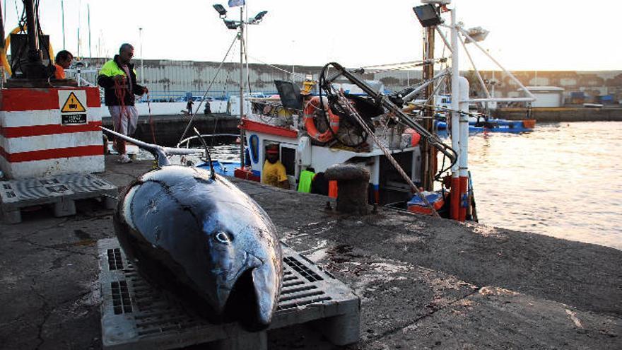 El Ministerio de Agricultura abre la pesquería de atún rojo en el caladero canario
