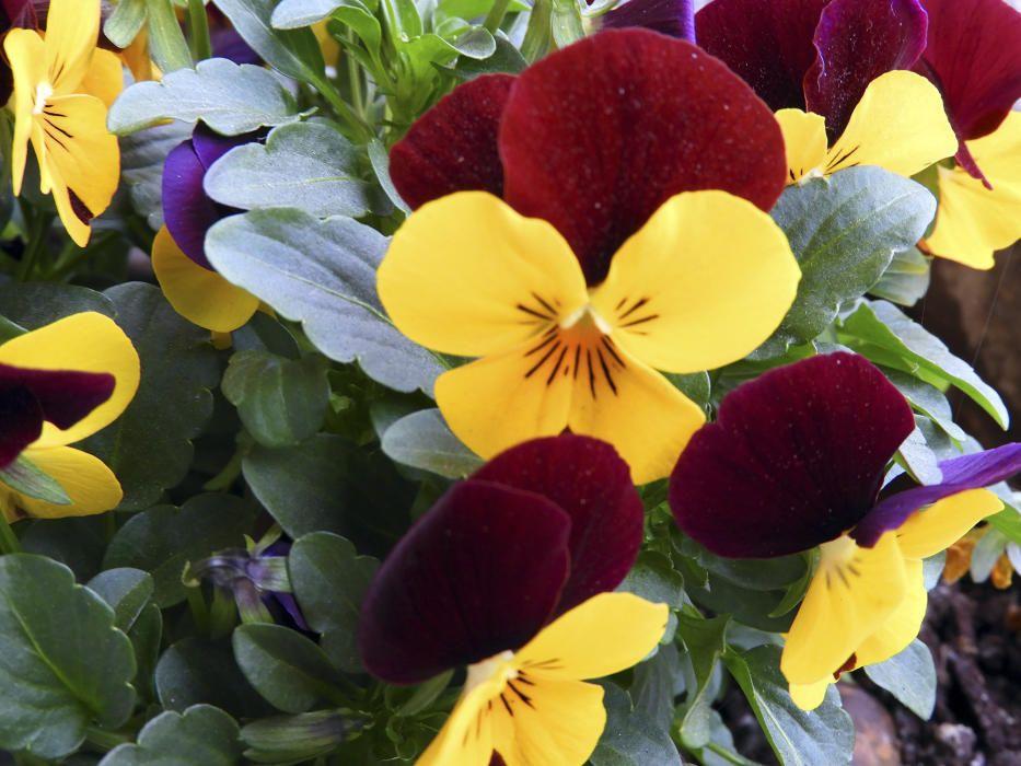 Pensament silvestre. Imatge d'un pensament silvestre, una planta ornamental molt comuna a tot Europa amb flors molt belles i de diversos colors i amb un ús medicinal i també culinari.