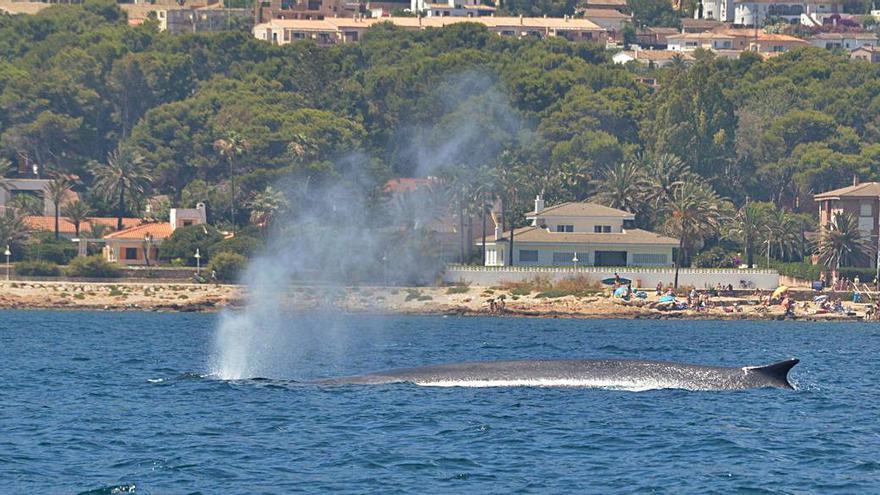 Avistan desde la torre del Gerro de Dénia 70 ballenas en menos de tres meses